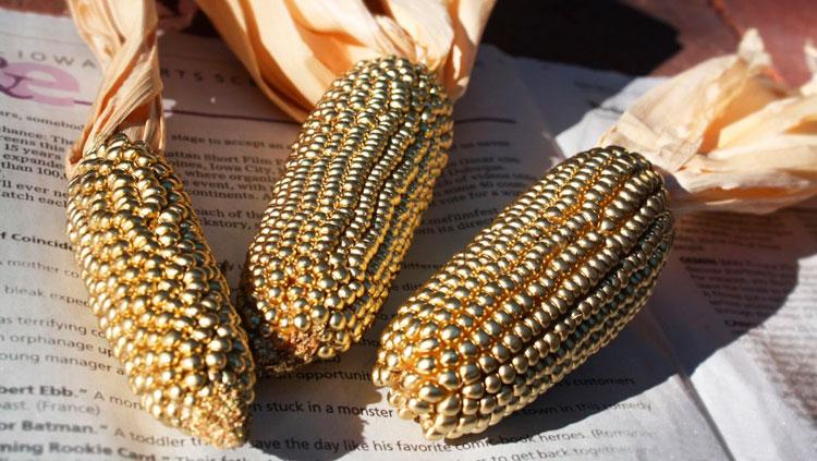Кукуруза любит золото